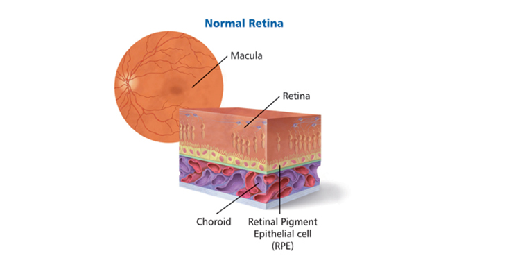 A Photo of Normal Retina crossection